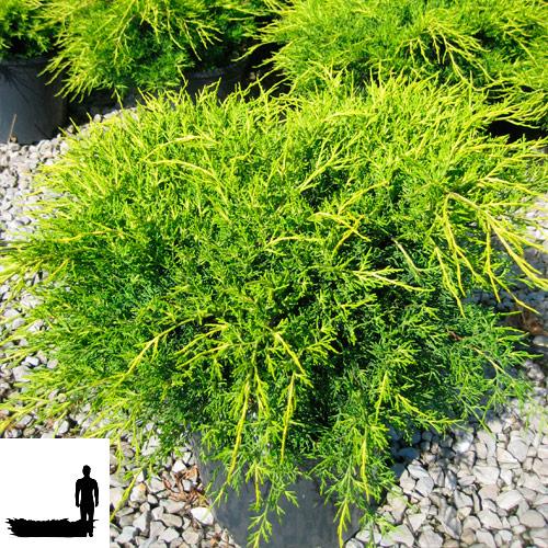 Juniperus-communis-'Depressa-Aurea'