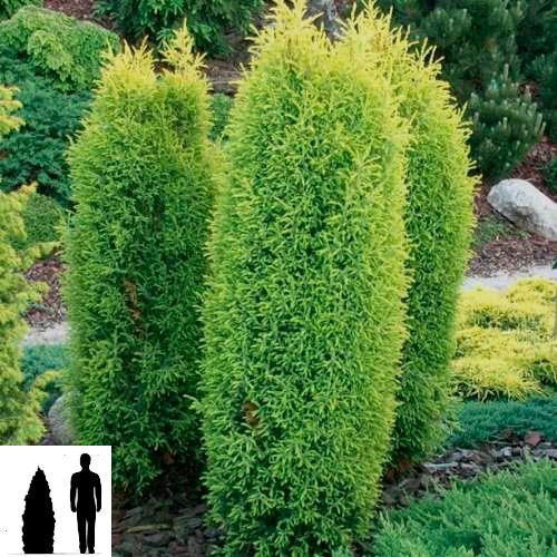 Juniperus-communis-Gold-Cone