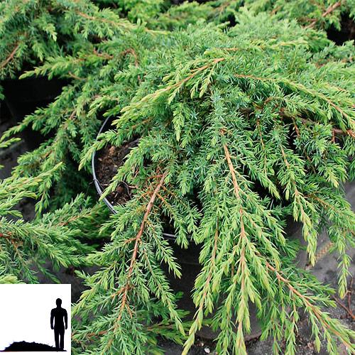 Juniperus-communis-Green-carpet