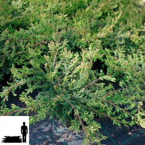Juniperus-communis-Repanda-