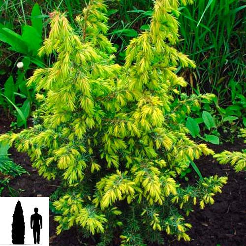 Juniperus-communis-Shneverdinger-Goldmachangel