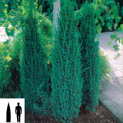 Juniperus-communis-Suecica