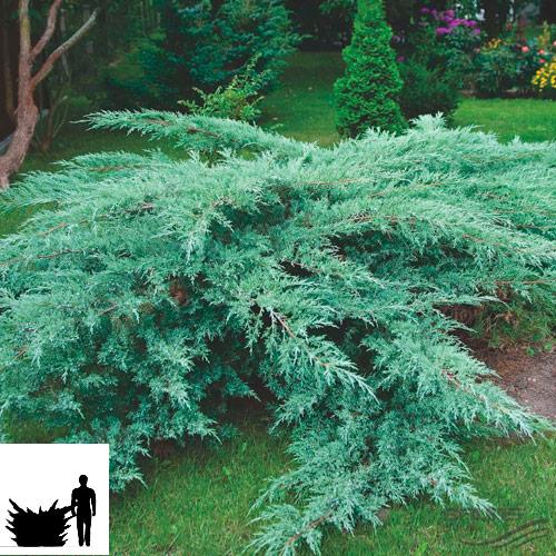 Juniperus-virginiana-Hetz