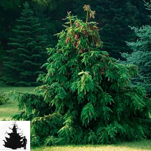 Picea-abies-el-obyknovennaya-Acrocona