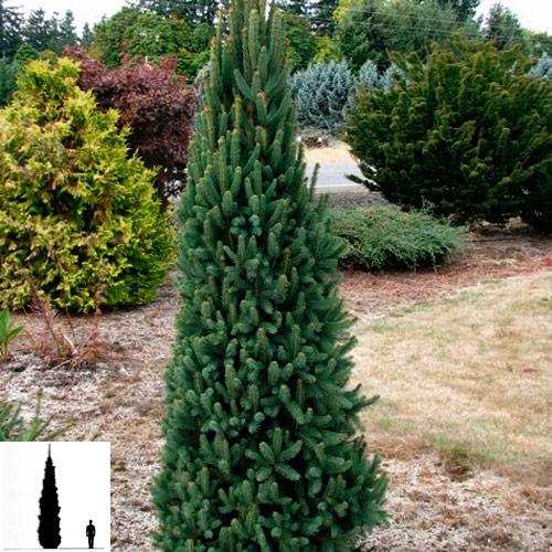 Picea-abies-el-obyknovennaya-Cupressina