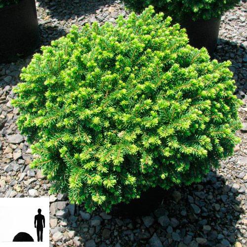 Picea-abies-el-obyknovennaya-Little--Gem