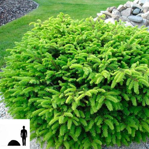 Picea-abies-el-obyknovennaya-Nidiformis