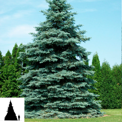 Picea-pungens-Hoopsli