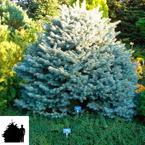 Picea-pungens-Glauca-Globosa