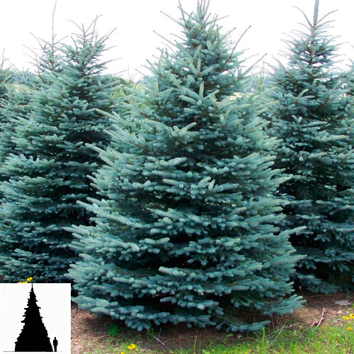 Picea-pungens-f