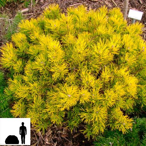 Pinus-mugo-Winter-Gold