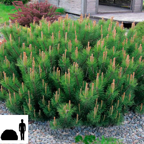 Pinus-mugo-var.-pumilo