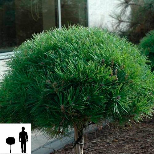 Pinus-nigro-Pierrik-Bregeon-Brepo