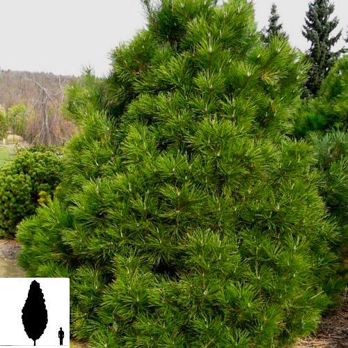 Pinus-nigro