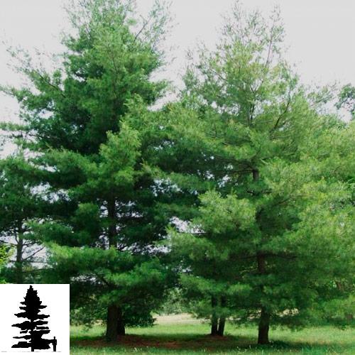 Pinus-strobus