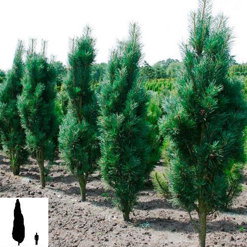 Pinus-sylvestris-Fastigiata