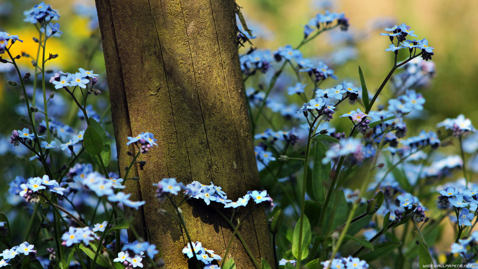 687230__forget-me-not_p